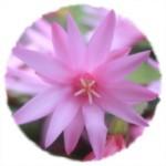 星孔雀 「さぼてんの花」