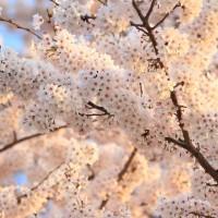 11 水元公園 桜