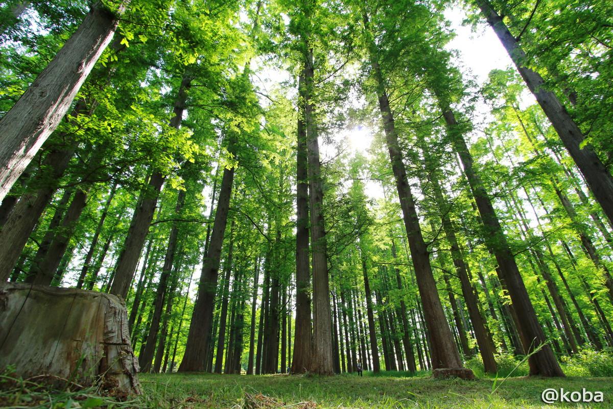 01 水元公園 メタセコイアの森