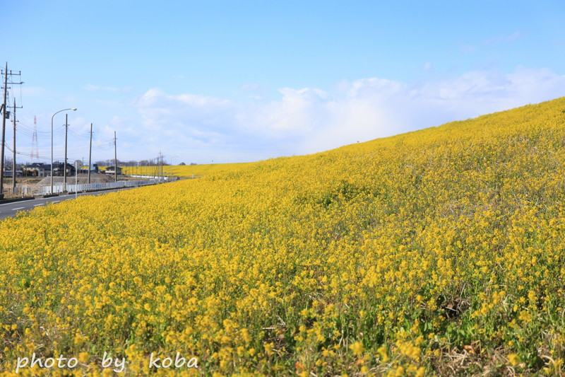 埼玉県 吉川公園 「黄色い土手」菜の花│こばフォトブログ
