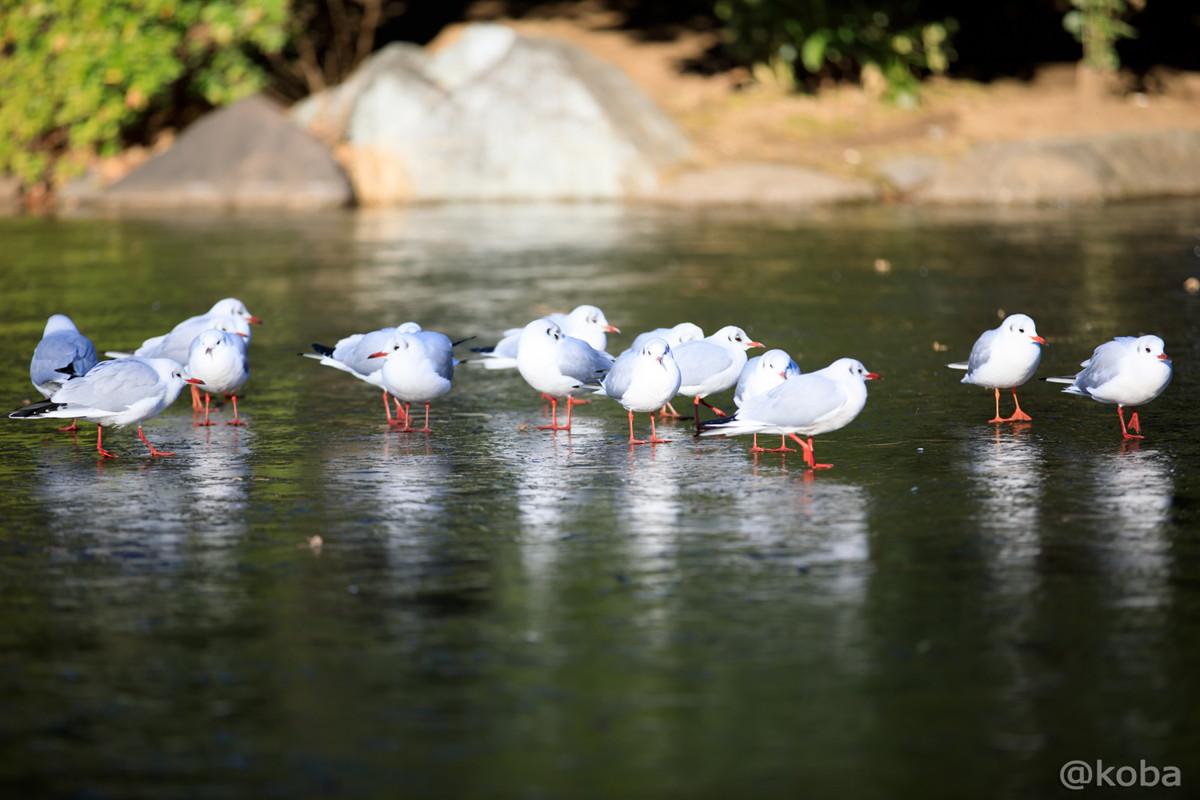 凍った池に居る ユリカモメ 小型のカモメ類 冬鳥 水鳥 氷上の鳥 隅田公園 東京都 墨田区