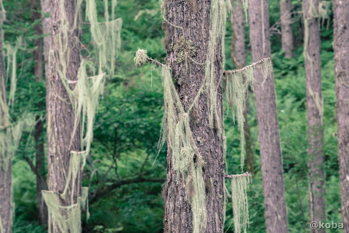 樹木 伝説の大池(でんせつのおおいけ) 長野県下伊那郡大鹿村鹿塩 ブログ画像
