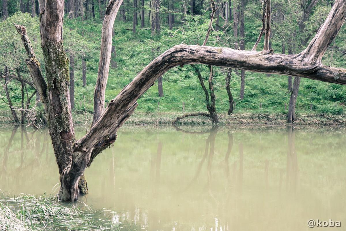 池と樹木 伝説の大池(でんせつのおおいけ) 長野県下伊那郡大鹿村鹿塩 ブログ画像