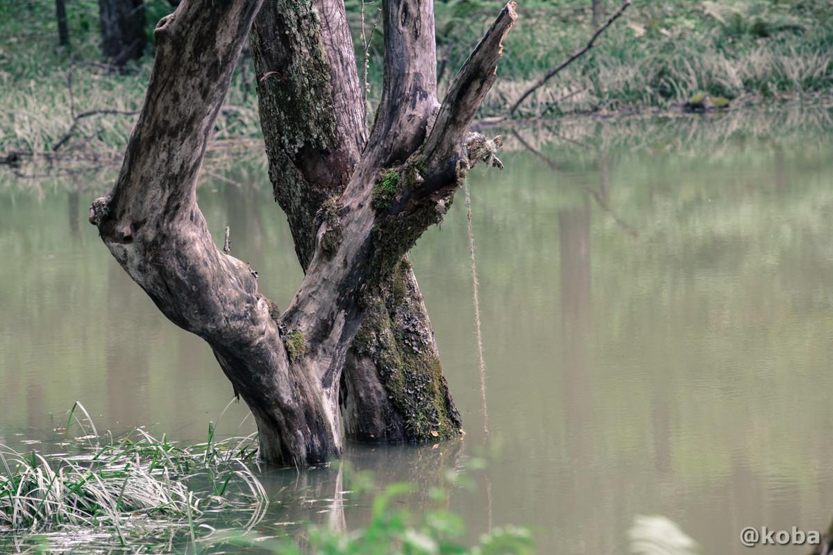 樹木の根元 伝説の大池(でんせつのおおいけ) 長野県下伊那郡大鹿村鹿塩 ブログ画像