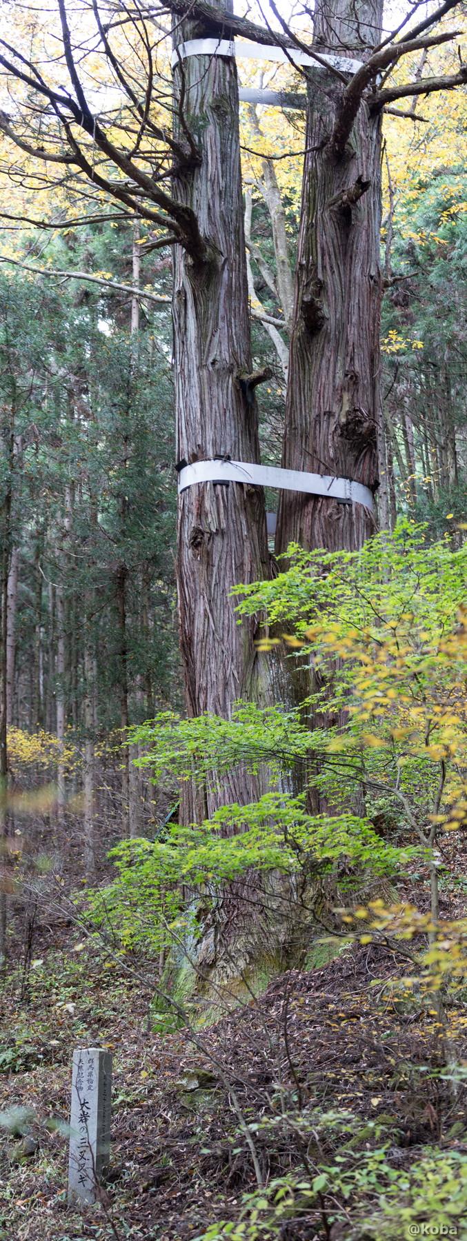大岩の三又杉の写真│県指定天然記念物│群馬県吾妻郡中之条町 ブログ