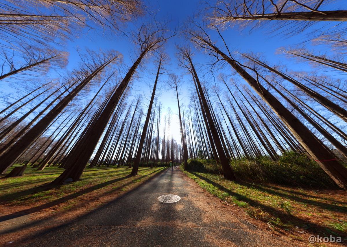 冬のメタセコイアの森の写真|水元公園|東京都葛飾区|こばブログ