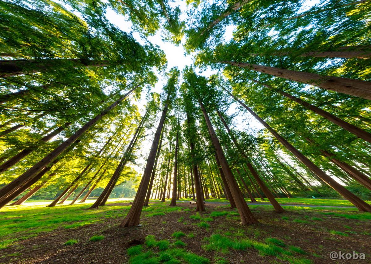 直行投影 朝のメタセコイアの森 11月の写真 Canon EOS 6D EF16-35mm F2.8L III USM 水元公園 東京都葛飾区 こばブログ
