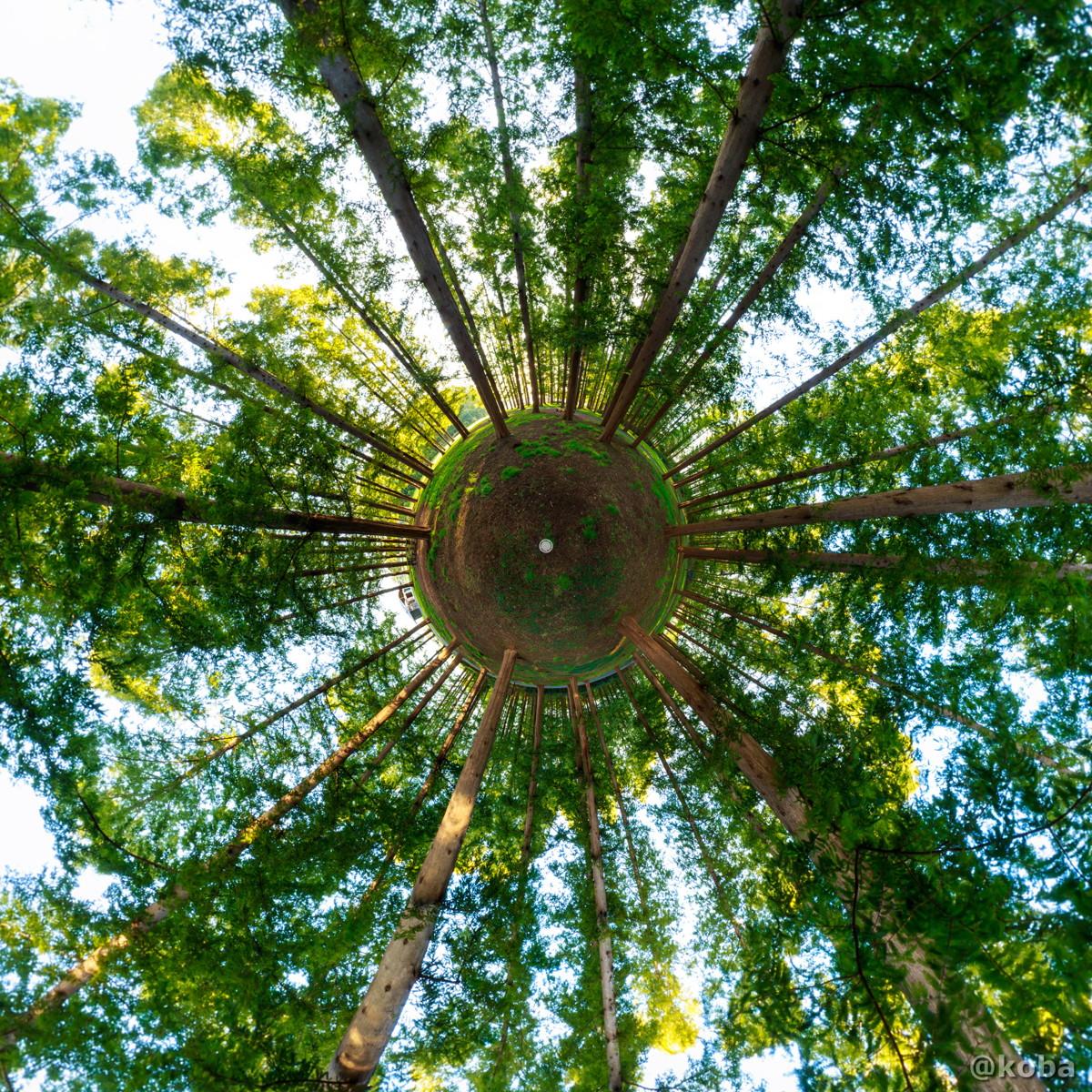 リトルプラネット 朝のメタセコイアの森 11月の写真|水元公園|東京都葛飾区|こばフォトブログ koba photo blog