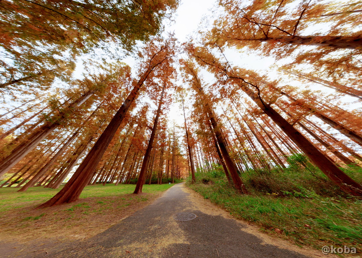 直行投影 朝のメタセコイアの森 12月の写真 Canon EOS 6D EF16-35mm F2.8L III USM|水元公園|東京都葛飾区|こばフォトブログ koba photo blog